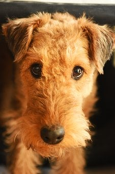Dog, Airedale Terrier, Animal, Mammal, Race