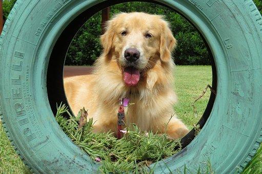 Golden Retriever, Tire, Dog, Puppy, Race, Friend