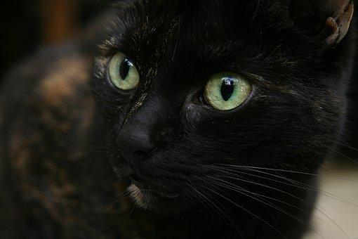 Domestic Cat, Cat's Eyes, Pet, Black, Cat Face