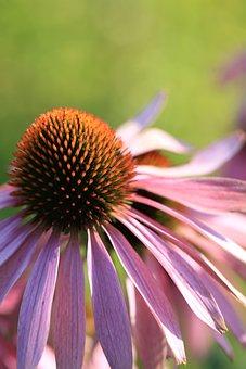 Purple Coneflower, Echinacea, Flower, Summer, Plant