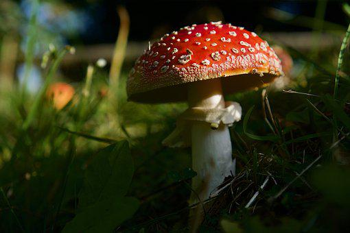 Fly Agaric, Amanita Muscaria, Toxic, Forest, Nature