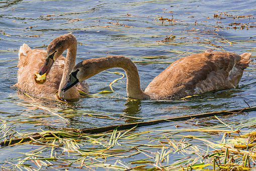 Swans, Water Bird, Young, Foraging, Animals