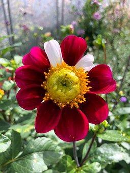Flower, Dalia, Garden