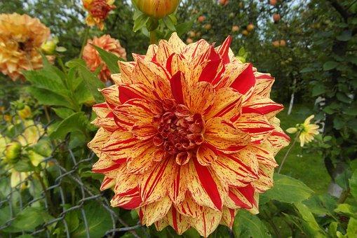 Dalia, Flower, Garden, Petals, Layer, Georgia