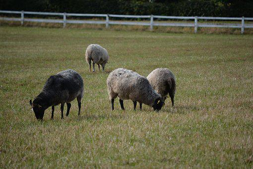 Särdalskvarn, Sheep On The Meadow, Grazing Sheep