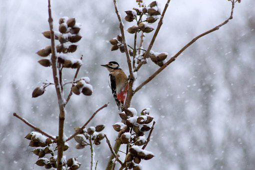 Bird, Spotted Woodpecker, Fly, Snow, Nature, Heaven