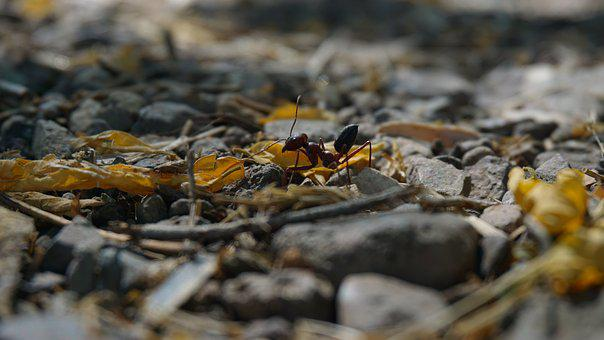 Animal, Ant, Insect