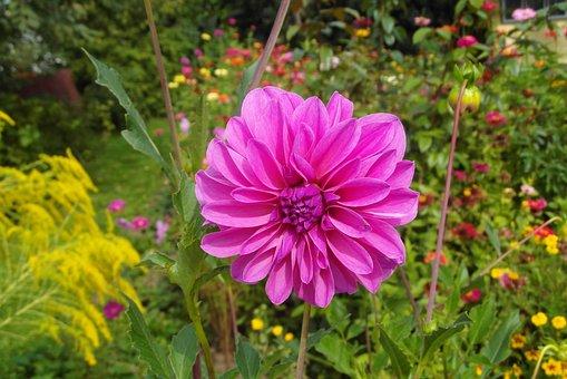 Dalia, Flower, Garden, Petals, Layer, Georgia, Violet