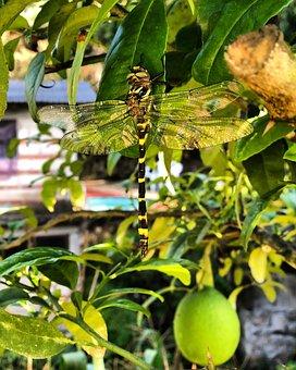 Dragonfly, Lemon Tree, Lemon, Citrus, Fruit, Nature
