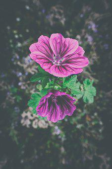 Roses-mallow, Mallow, Rose Mallow