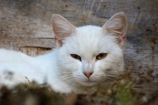 Domestic Cat, White, Gaze, Head, Mammal, Animal, Rest