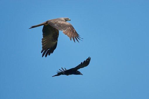 Milan, Crow, Flying, Black, Raven, Bird, Nature