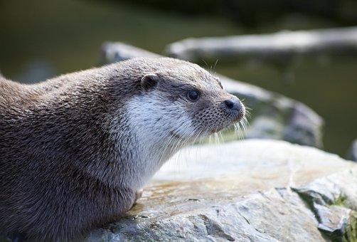 Otter, Mammal, Amp Shipping, Water, Animals, Fur