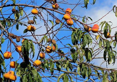 Peaches, Apricots, Fruit Tree, Fruit, Autumn, Season