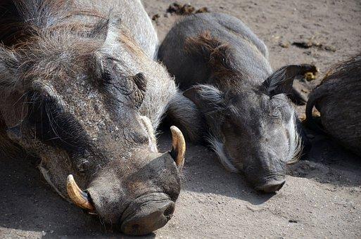 Warthog, Pumbaa, Zoo, Piglet, Pig, Sow, Boar