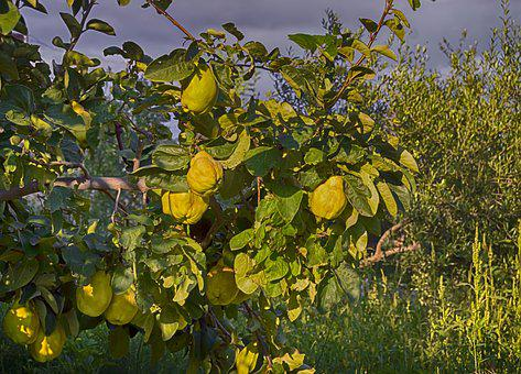 Quince, Autumn Fruit, Tree Of Quince