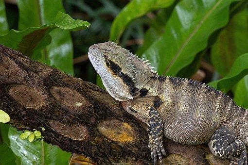 Water Monitor, Lizard, Reptile, Wild, Queensland, Water
