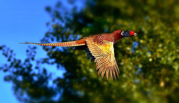 Ring Necked Pheasant, Bird, Ground Living, Animal