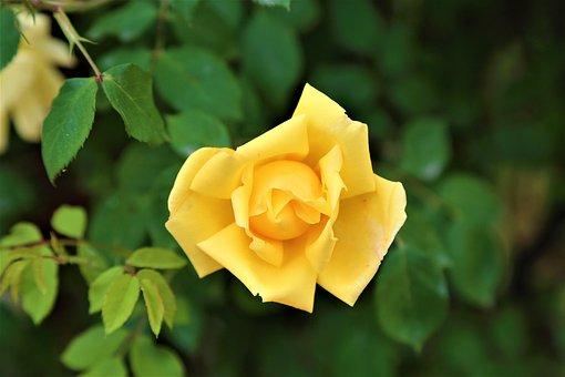 Rose, Rose Sar, Flower, Nature, Spring, Pink, Love