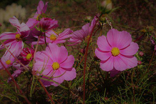 Cosmea, Flower, Cosmos Bipinnatu, Cosmos, Bloom, Summer