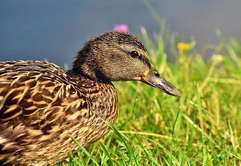 Duck, Mallard, Water Bird, Duck Bird, Poultry, Plumage