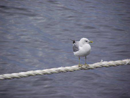 Sea, Seagull, Bird, Rope, Nature, Wing