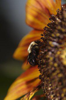 Sunflower, With A Wood Bee, Hard Work