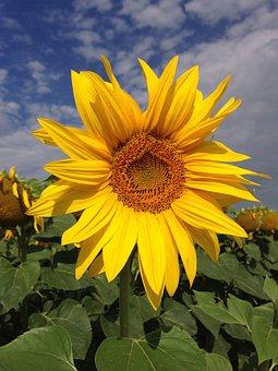 Sunflower, Summer, Yellow, Nature, Flower, Plant, Flora