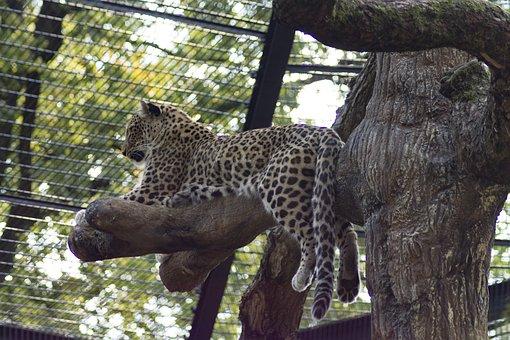 Cheetah, Big Cat, Predator, Dangerous, Zoo, Fur, Stains