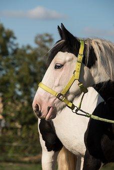 Tinker, Horse, Animal, Ride, Mammal, Pinto
