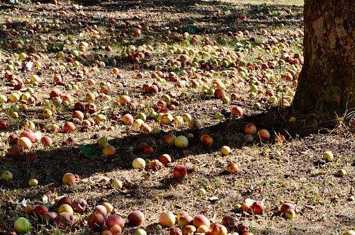 Windfall, Autumn, Fruit, Apple, Sun, Light, Orchard