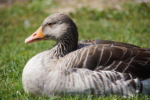 Goose, Duck, Bird, Animals, Head, Plumage, Eye
