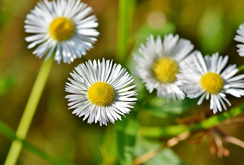 False Chamomile, Chamomile, Blossom, Bloom, Flower