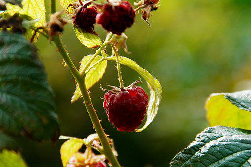 Raspberry, Growth, Development, Nature, Branch, Leaves