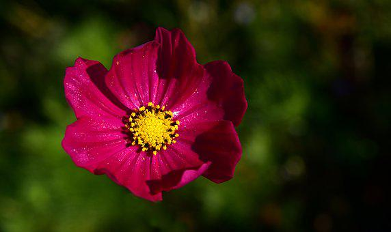 Cosmea, Cosmos, Blossom, Bloom, Pink, Plant, Nature