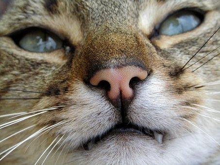 Snout, Cat, Hangover, Teeth, Look, Eyes, Greens