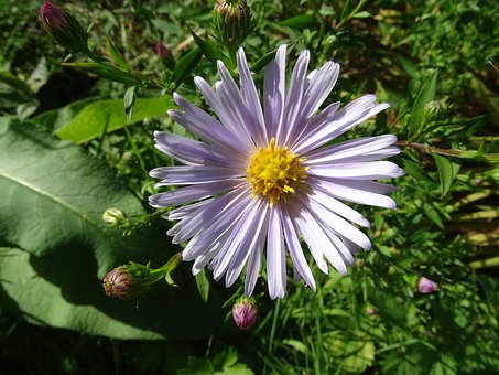 Aster, Aster Amellus, Flower, Garden, Nature, Fall