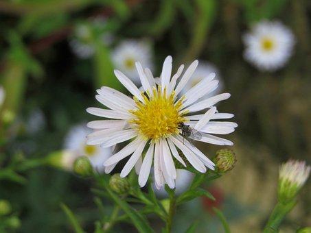 Marguerite, Fly, Macro, Zoom, Pollen, White, Yellow