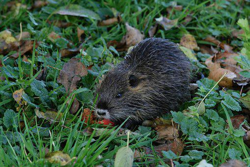 Muskrat, Rodent, Nager, Foraging