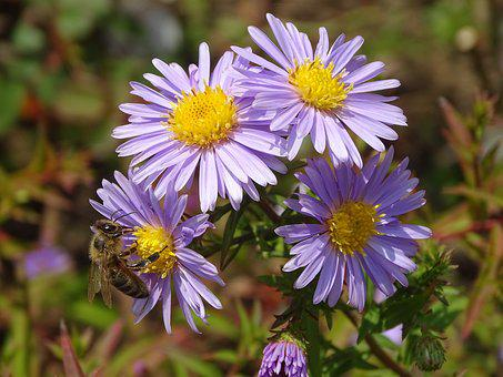 Aster, Aster Amellus, Bee, Flower, Garden, Nature, Fall