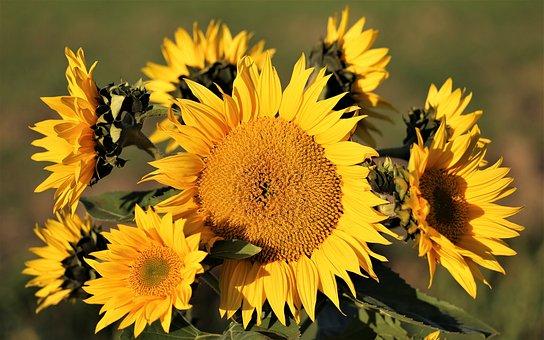 Sunflower, Plant, Bush, Flowers, Yellow, Green, Meadow