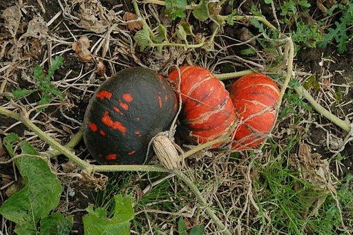 Pumpkins, Growth, Orange, Black, Develop, Nature, Gourd