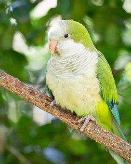 Quaker Parrot, Kakariki Parakeet, Parrot, Bird, Animal