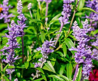 Lavender, Flowers, Nature, Purple, Plant, Summer