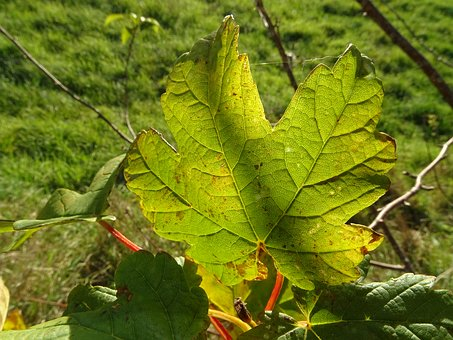 Vine, Leaf, Fall, Nature, Plant, Plants, Wine