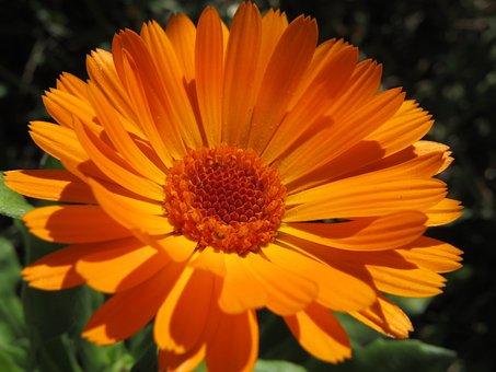 Orange Blossom, Macro, Zoom, Marigold, Garden