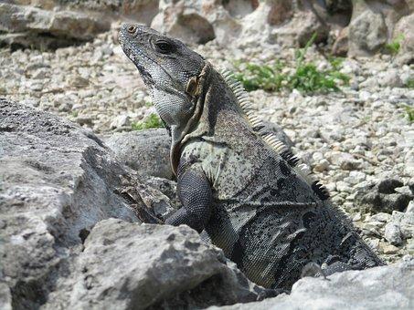 Iguana, Mexico, Reptile, Animal, Island