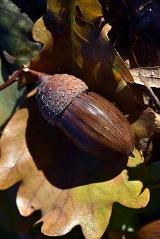 Acorn, Autumn, Nature, Leaf, Oak Leaf, Brown, Transient