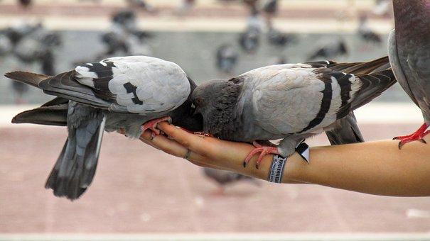 Pigeons, Birds, Animals, Pen, Paloma, Flight, Nature