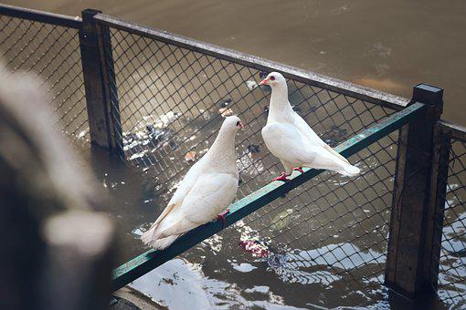 Pigeon, Prynne Pigeon, Dove Of Peace, Pigeons, Animal
